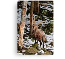 Ibex on Rock Canvas Print