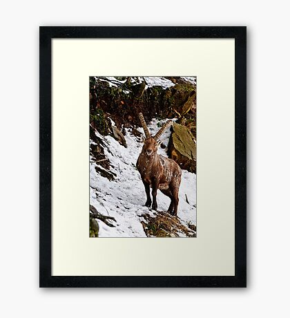 Ibex in Winter Framed Print