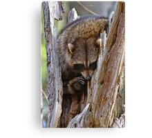 Raccoon in nest - Ottawa, Ontario Canvas Print