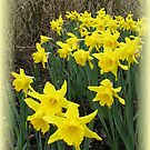Easter Daffodils Vignette by BlueMoonRose