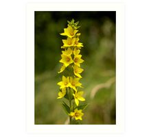 Dotted Yellow Loostrife, Muckross Head, Donegal Art Print