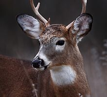 Deer boy - White-tailed Deer by Jim Cumming