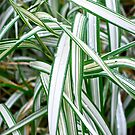 Ribbon Grass by Penny Smith