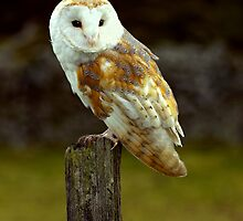 Barn Owl on Hunting Post by ardudley