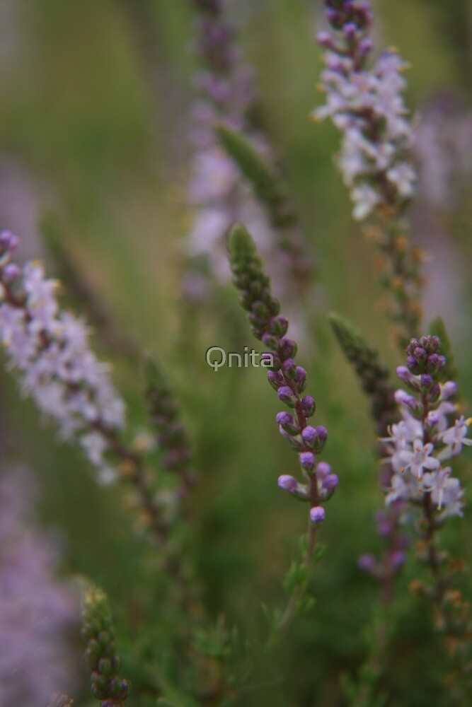 """No, it's not Lavender... """"Wild Flowers"""" Free State, South Africa by Qnita"""