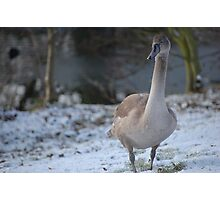Goose in the Snow Photographic Print