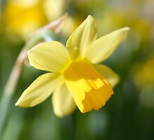 Daffodil by Circe Lucas