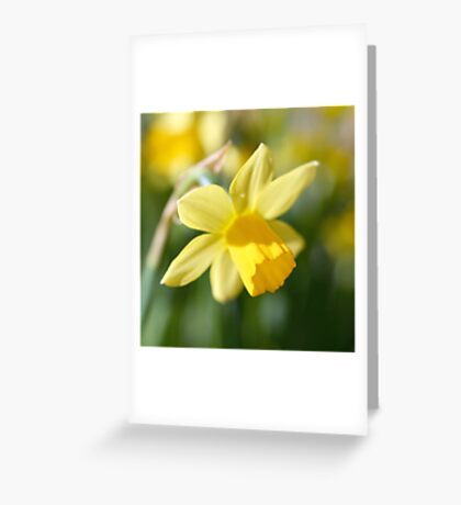 Daffodil Greeting Card