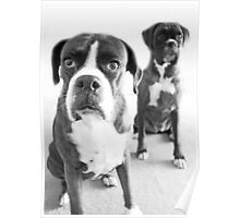 What Do You Mean She's Standing Behind Me -Boxer Dogs Series- Poster