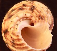 Sea Shell on Dark Background by Robert Armendariz
