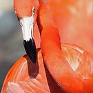Caribbean Flamingo by kathy s gillentine