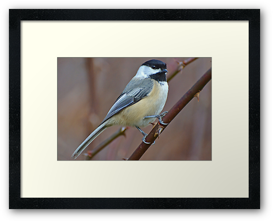 Black-Capped Chickadee by William Brennan