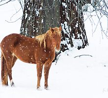 Golden Chestnut - Winter by KBritt