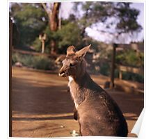 Forester Kangaroo Poster