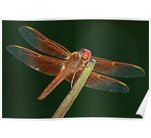 Flame Skimmer Dragonfly Poster