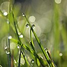 Dewdrops by lorrainem