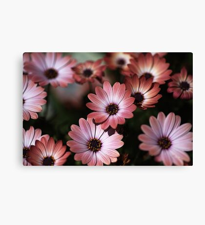 African Daisy Zion Red Canvas Print
