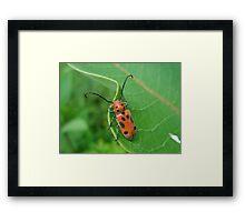 Spotted Asparagus Beetle - Crioceris duodecimpunctata Framed Print