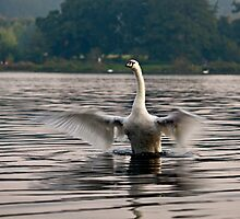 Adult Swan Stretching its wings by Gary Rayner