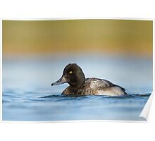 Low Angle Lesser Scaup Poster