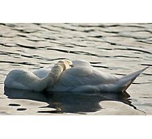 Resting swan Photographic Print