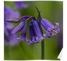 Bluebell Flower Square Picture Poster