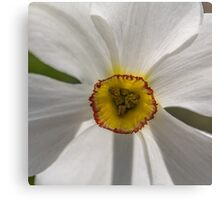 Macro white daffodil Canvas Print