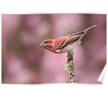 Purple Finch with Blooming Crabapple Backdrop. Poster