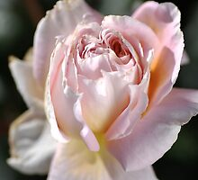 Soft Pink Rose by Joy Watson