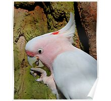 Pink Cockatoo Snack Time Poster