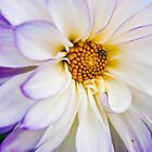 Purple and White Dahlia with a Bee by CLFitzsimmons