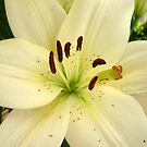 White Birthday Lilly by ange2