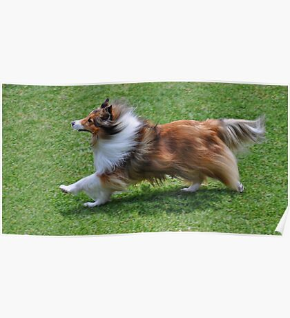 The Endurance Of A Sheltie Poster