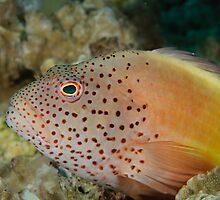 Blackside hawkfish - Paracirrhites forsteri by Andrew Trevor-Jones