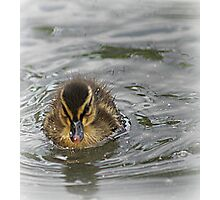 Duckling on a Mission Photographic Print