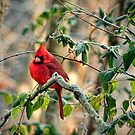 """ Male Cardinal On A Frosty Morn"" by Melinda Stewart Page"