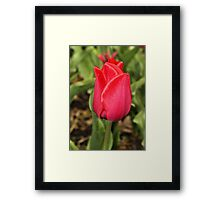 Red Tulip Framed Print