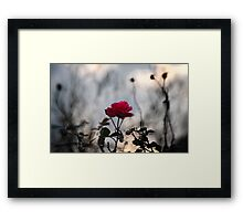 A wild rose Framed Print