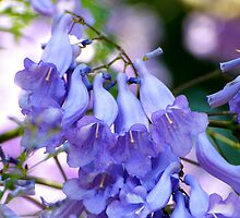 The last of the Jacaranda Blossoms by Renee Hubbard Fine Art Photography
