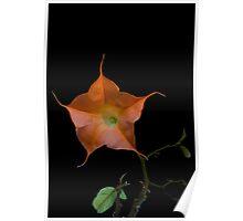 Datura flower Poster
