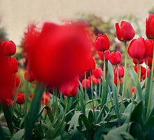 Red Tulips by Leah Flores