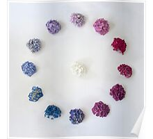 Circle of Hydrangea Poster