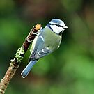 Little Blue Tit by Russell Couch