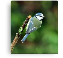 Little Blue Tit Canvas Print