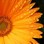 Gerbera Daisy by tdash