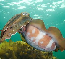 Giant Cuttle by Andrew Newton