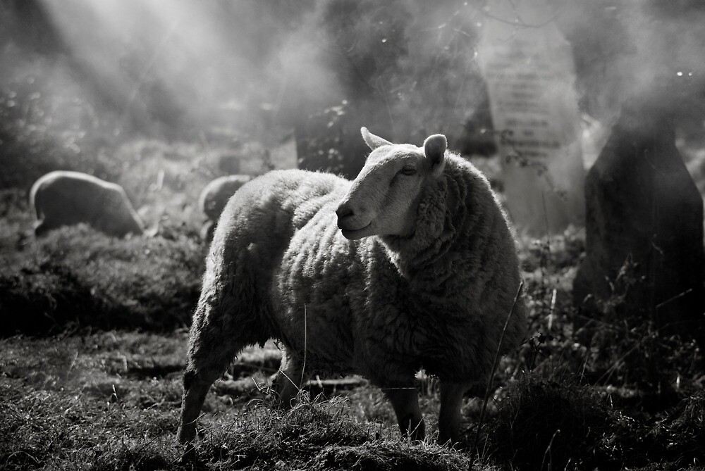 Sheep in the mist by ajgosling