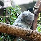 Sleepy Koala by tdash