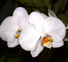 White orchids by ♥⊱ B. Randi Bailey