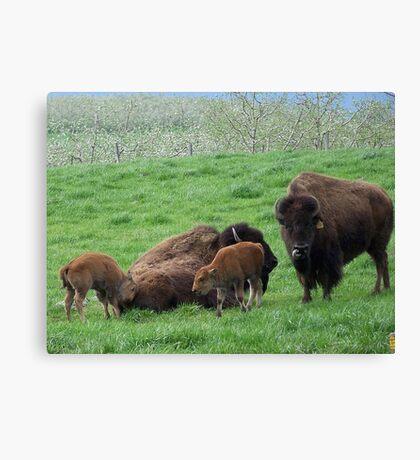 Buffalo Family Canvas Print